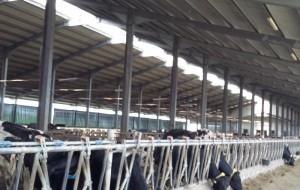 ferma vaci ripiceni1