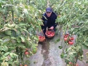 rosii program tomate2