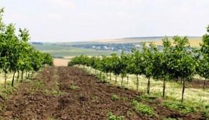 plantatie nuci