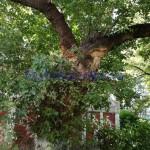 copac rupt, stiri, botosani, botosaninews (1)