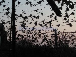 Locuitorii unui cartier din municipiul Botoșani sunt exasperați de miile de păsări care i-au invadat